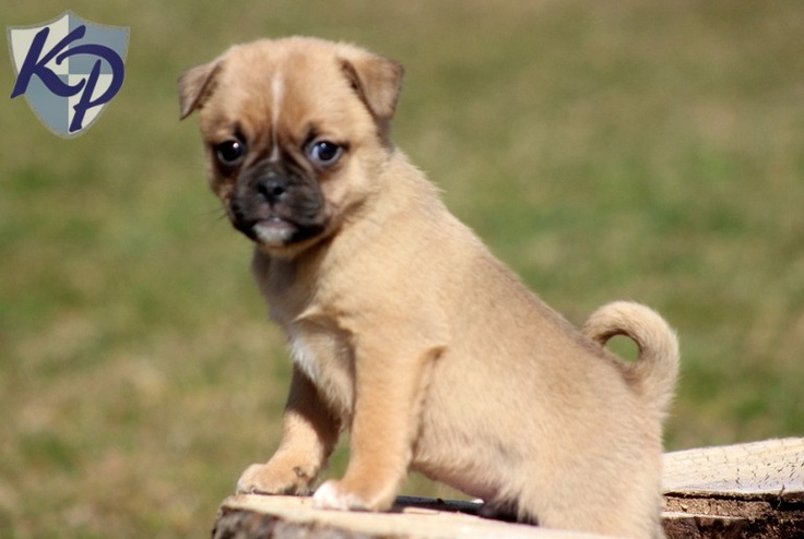 Pluto – Jug Puppies for Sale in PA | Keystone Puppies