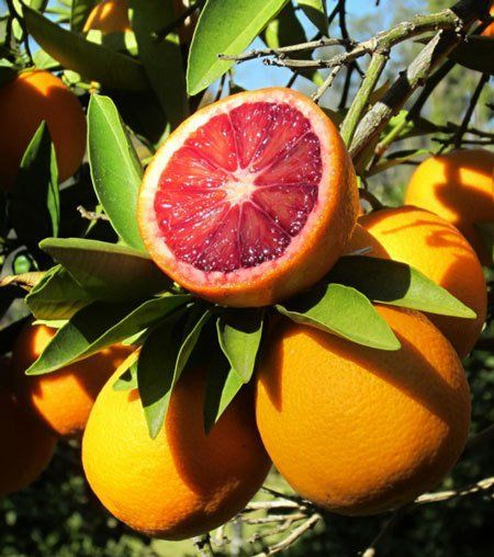 Moro Blood Orange Tree - Potted Orange Patio Plant - Indoor Orange Trees for…