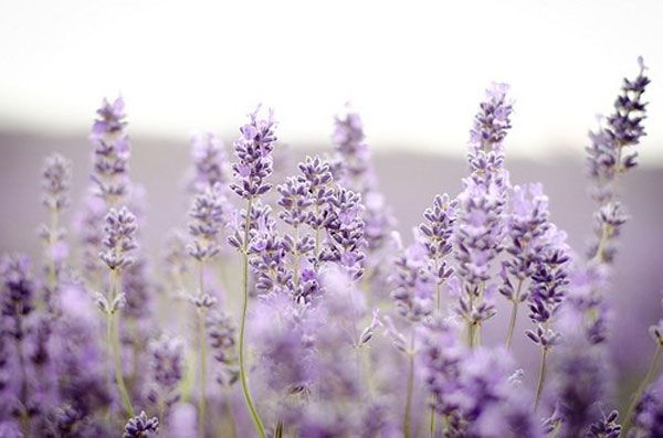 """""""Lavender is the soul of Provence"""" / from this is glamourous"""