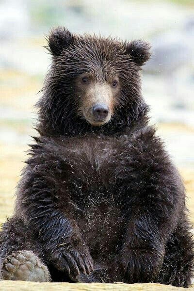 Cute and Wet Grizzly Bear!