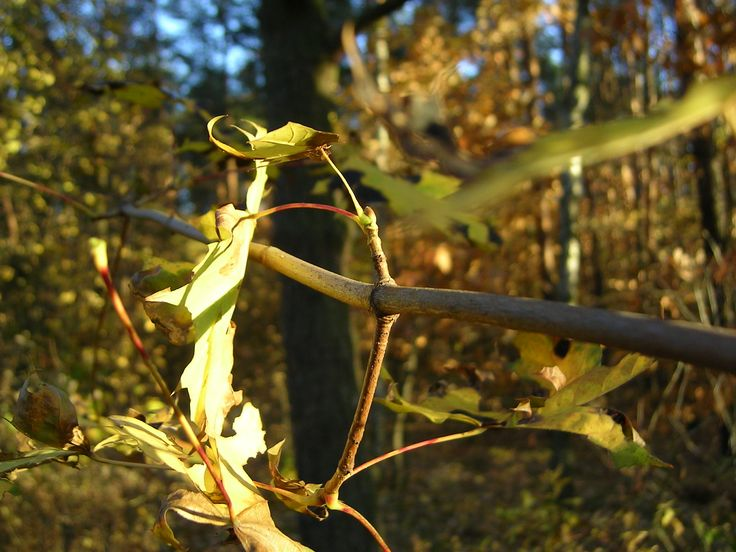 klon jesienny