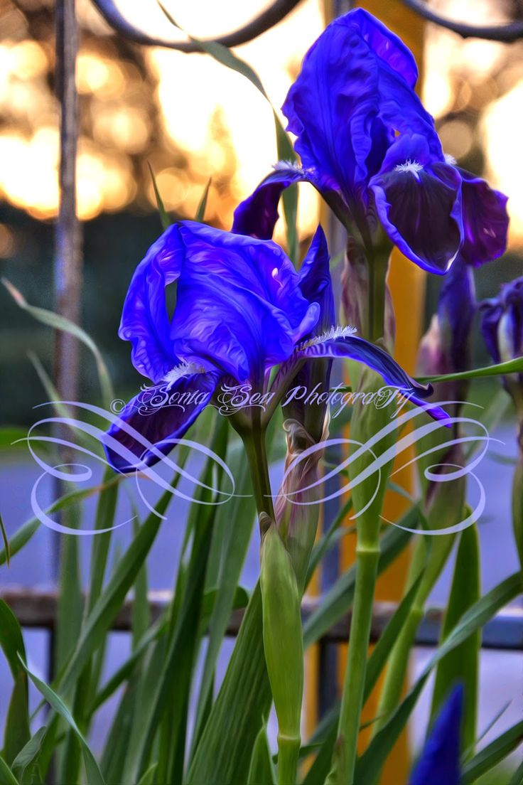 Lapislazzuli Blu: #Iris #Blu