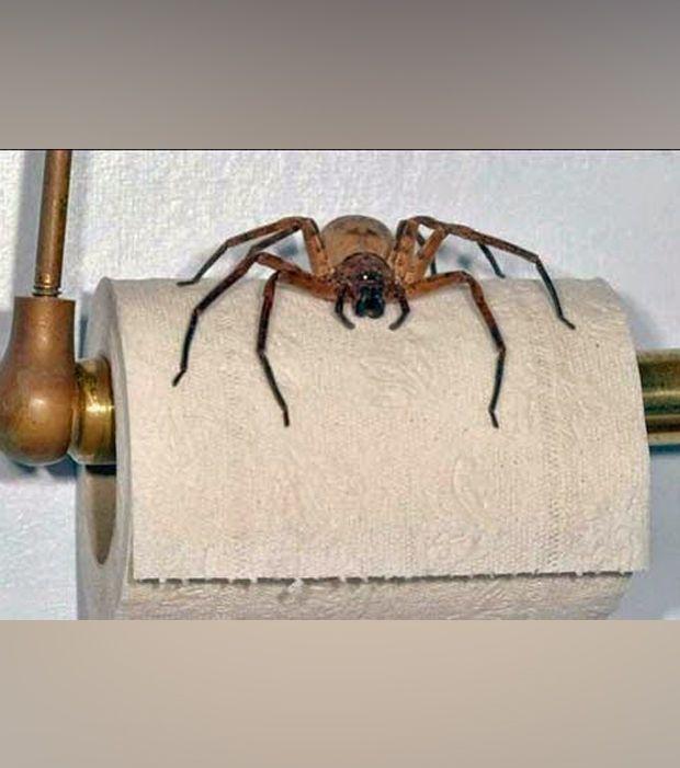 Verrückte Klopapier-Halter: Eine Spinne auf dem Klopapier- Damit wird der Verbrauch gemindert