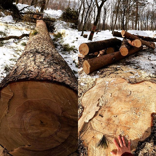 【luomu1920】さんのInstagramをピンしています。 《ルオムの森には今、大きな大きな松などの木が伐採され倒れています。  このように古い木を木こりの方に伐って頂き、森の安全と森の健康が保たれています。場内が狭くなり、少々ご不便お掛けいたしますが太い切り株を探しに来てくださいね! #ルオムの森 #森林 #北軽井沢 #林業》