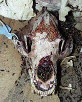 Skull Taxidermy using dermestid beetles.