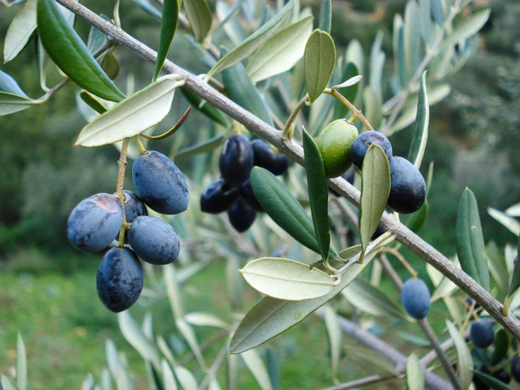 65 best images about olive trees on pinterest trees for What to plant under olive trees