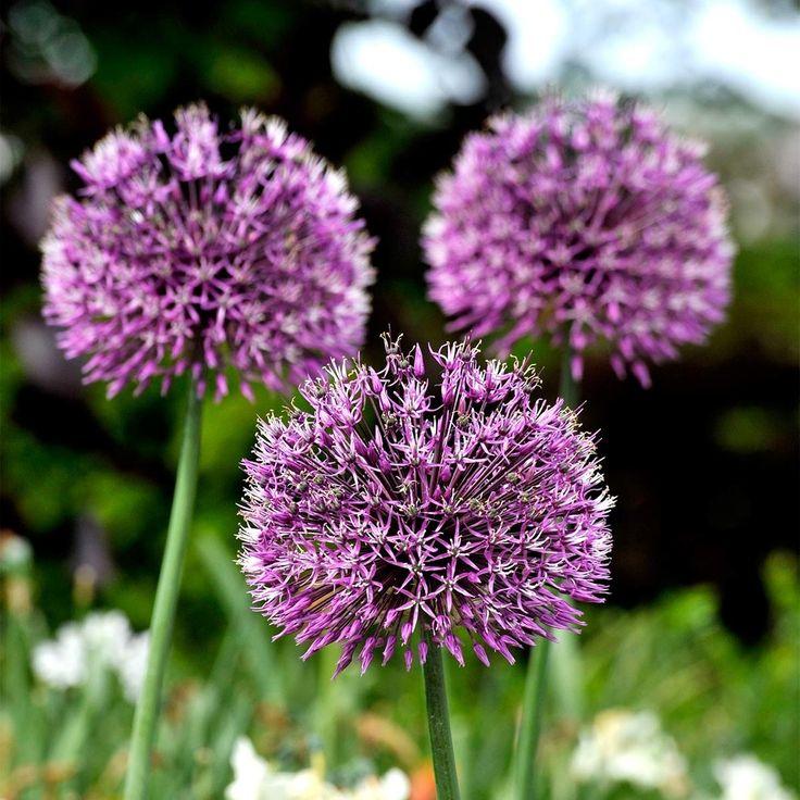Fresh Allium aflatunense Purple Sensation Wundersch ne rosaviolette Bl tenb lle von ca cm Durchmesser Haltbare