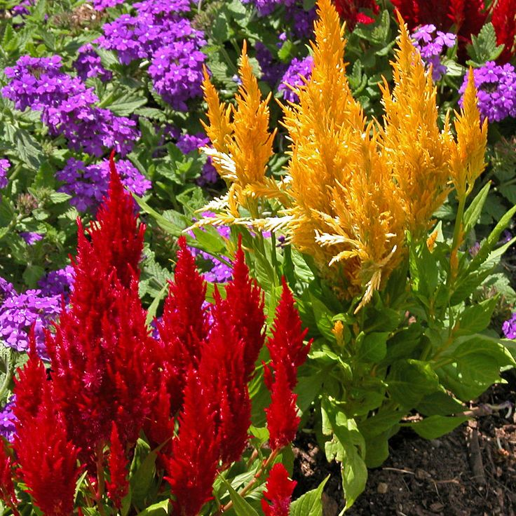 Celosia (also called cockscomb) - does great in the front yard on the left (looking at the porch). Tony gave us lots of seeds which we sprinkled along both sides of the house with the monkey grass. Can't wait to see what they do. I hope I don't mistake any of it for weeds when it starts coming up.