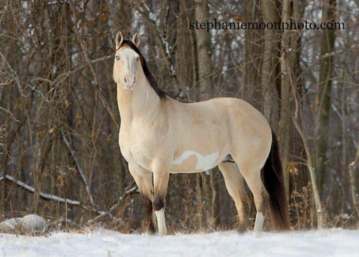 Buckskin Paint Horses For Sale In Ohio