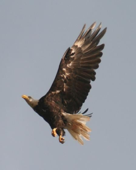 Eagle - Murray Harbour by Dadoambrca