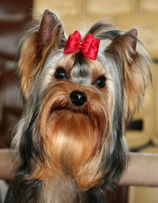 Yorkie... http://www.lapdogclub.com/Images/Media/yorkie_with_bow.jpg