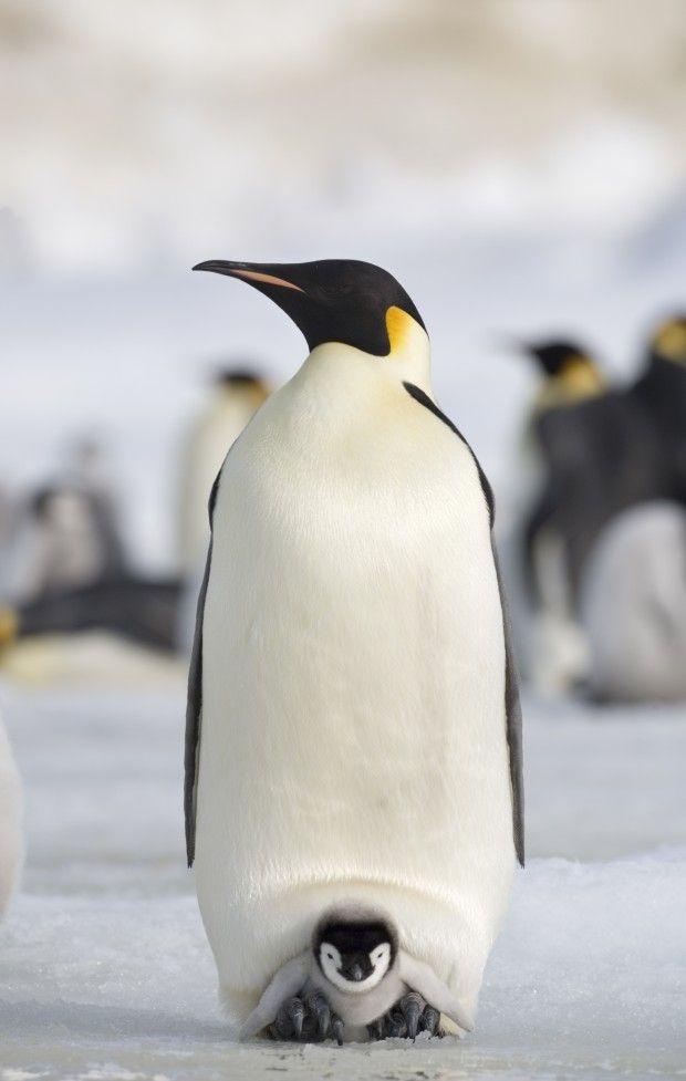 Após enfrentar condições extremas, o pinguim-imperador (Aptenodytes forsteri) espera ansioso, com seu filhote protegido em uma bolsa especia...