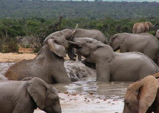 If you want to look at the lives of wild elephants come to the Addo Elephant National Park which is near the city of Port Elizabeth.