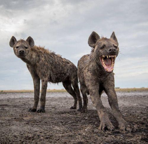 Hyenas by Will Burrard-Lucas