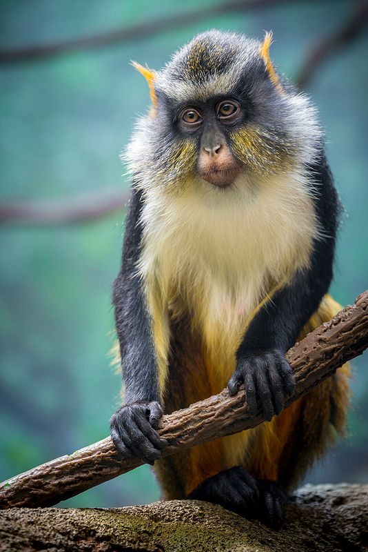 Portrait of a Wolf's Mona Monkey  is found in central Africa, primarily between the Democratic Republic of the Congo and Uganda. It lives in primary and secondary lowland rainforest and swamp forest.