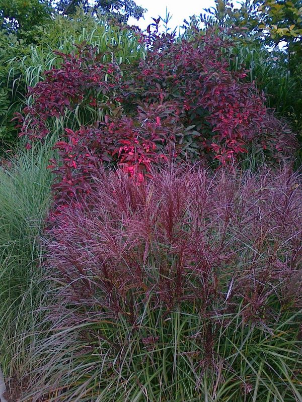 Miscanthus sinensis and Euonymus alatus by Michal Novacek
