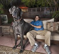 Largest Great Dane ever! 252 lbs, eats 100 lbs of dog food every month and is 7' long & 4' high at the shoulders! I'll take 2 please...
