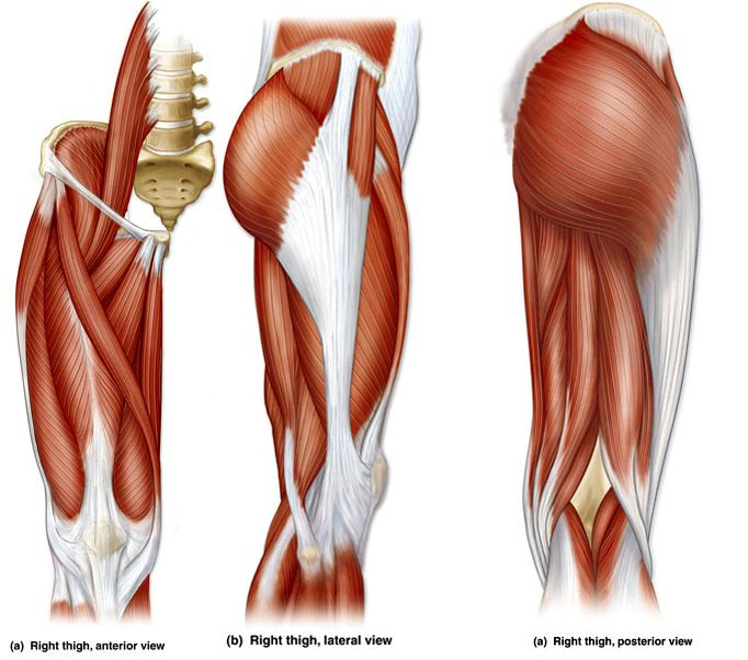 pics inner and outer thigh muscles - HD 1024×768