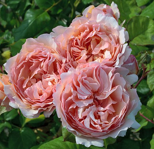 ~ROSE PRINCESS CHARLENE DE MONACO. David Austin roses & other (scented) garden roses available @ www.parfumflowercompany.com