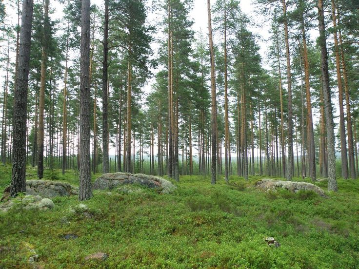 Skog i Mångberg Dalarna