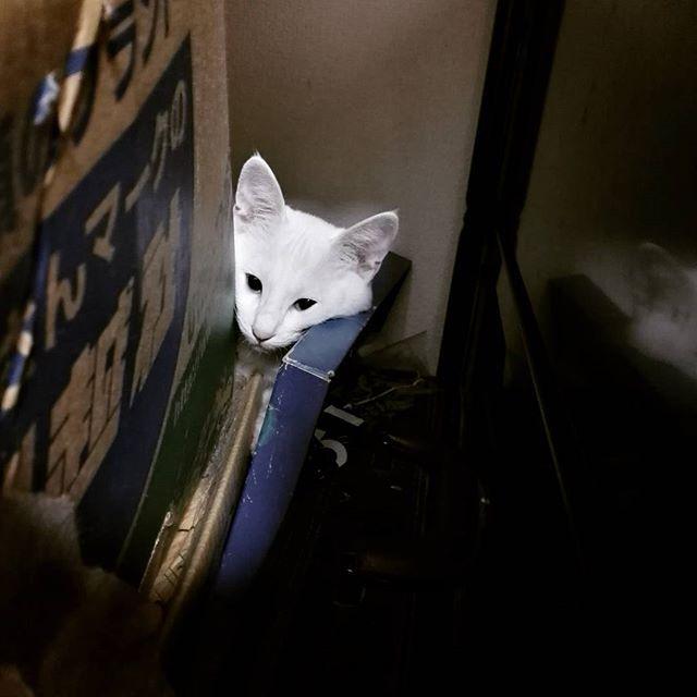 おもちくん~どこにいるのぉ~?と探していたら、 早く片付けなきゃなぁと思っていた未開の地にいた😱  #引っ越ししてからそのまま #未開の地#というかそこに行くか #週末#片付けます  #猫#ねこ#cat#ねこ写真 #ねこのいる生活 #猫好きな人と繋がりたい #猫好きさんと繋がりたい #猫好き#ねこ部#にゃんだふるらいふ #にゃんすたぐらむ#猫好き #愛猫#猫と暮らす幸せ #猫と暮らす#保護猫#多頭飼い #ただ好きなあなたがすごくしあわせが嬉しいよ #おもち#ささかまねこ#笹かま猫