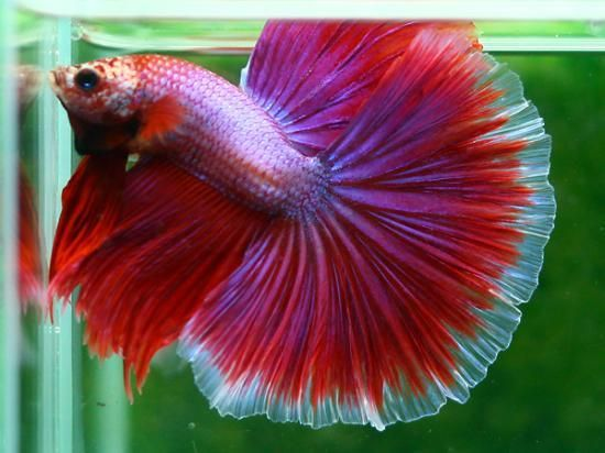 Big boy betta goldfish bettas pinterest colors for Big betta fish