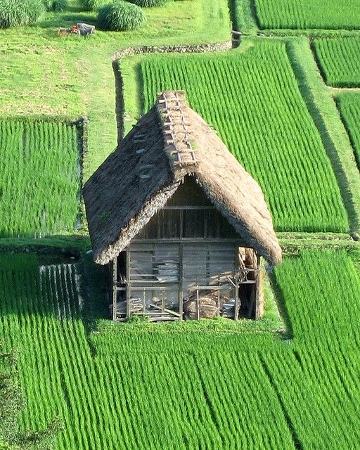 A traditional Japanese barn with thatched roof surrounded by rice paddies. Overlooking Shirakawag by Jippolito
