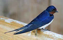 vlaštovka obecná - známý tažný pták, často zaměńovaná s jiřičkou obecnou