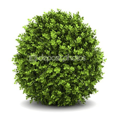 Inspirational Dwarf english boxwood isolated on white background u Stock Image