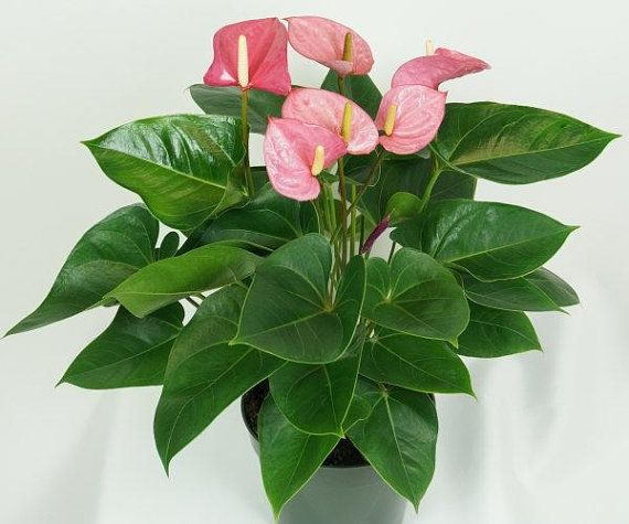 Pink Flamingo Lily Air Purifying Houseplant Anthurium Easy Care Live Plant Housewarming Birthd House Plants Plants Anthurium