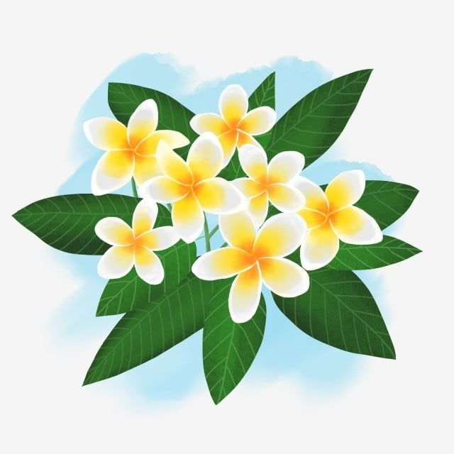 Commercial Hand Drawn Flower Leaf Plant Tropical Southeast Asia Frangipani Commercial Hand Painted Watercolor Png Transparent Clipart Image And Psd File For How To Draw Hands Flower Drawing Hand Drawn Flowers