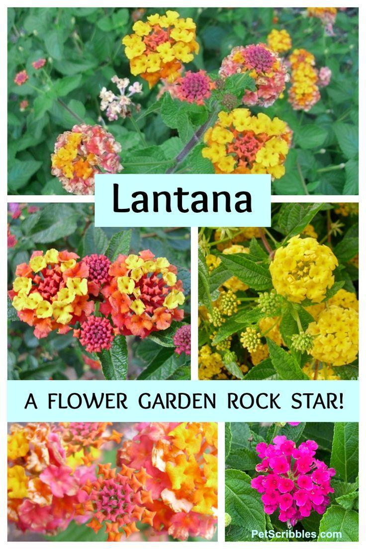 Lantana A Flower Garden Rock Star Pet Scribbles In 2020 Backyard Flowers Garden Backyard Flowers Lantana