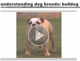 Understanding Dog Breeds: Bulldog | Learn more about the lovable bulldog here!