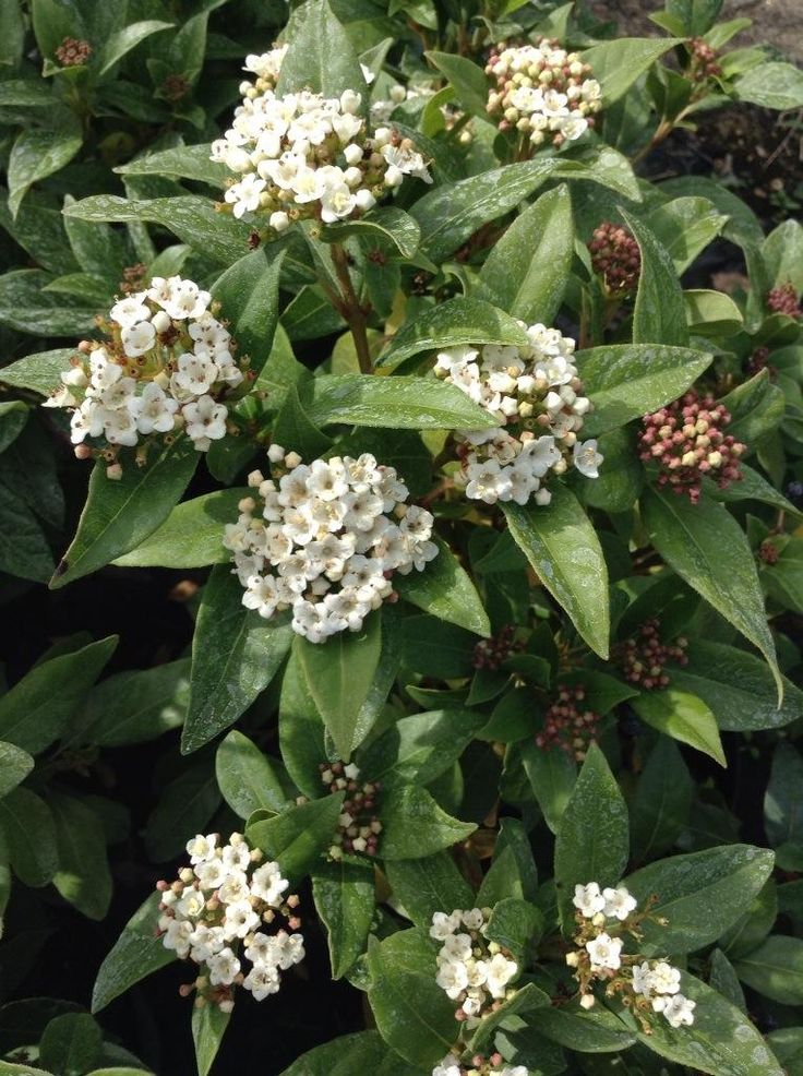 Viburnum Davidii Is An Evergreen Shrub With Clusters Of