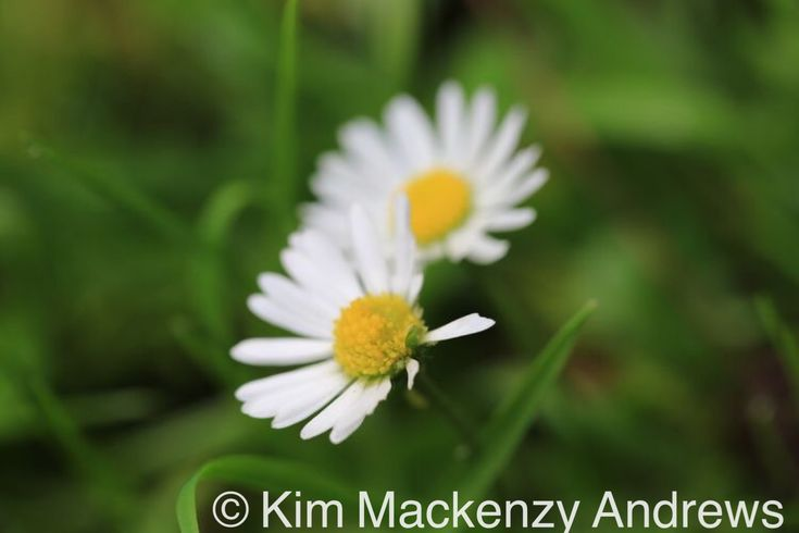 Two daisies, Binfield