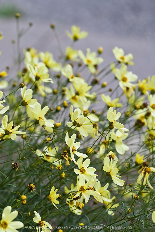 Coreopsis verticillata 'Moonbeam' - tickweed: pretty pale yellow flowers that dance in the breeze