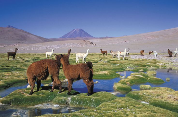 The landscape of Chile looks so unique. I'd love to go there...and llamas don't hurt either! :)