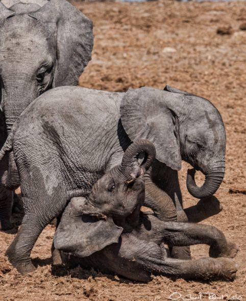 momma elephant has to put the lads inline  #elephants #musharaelephantproject