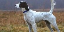 Dog Breed Gallery of English Setters - http://furever.ca/dog-breed-gallery-of-english-setters/