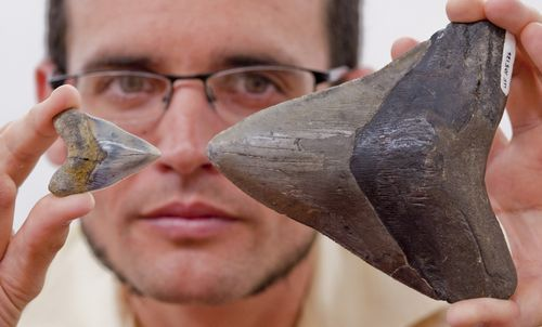 Comparing the size of a juvenile megalodon tooth from the Gatun Formation, Panama, left, with an adult megalodon tooth from Florida.