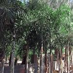 Foxtail Palms for sale