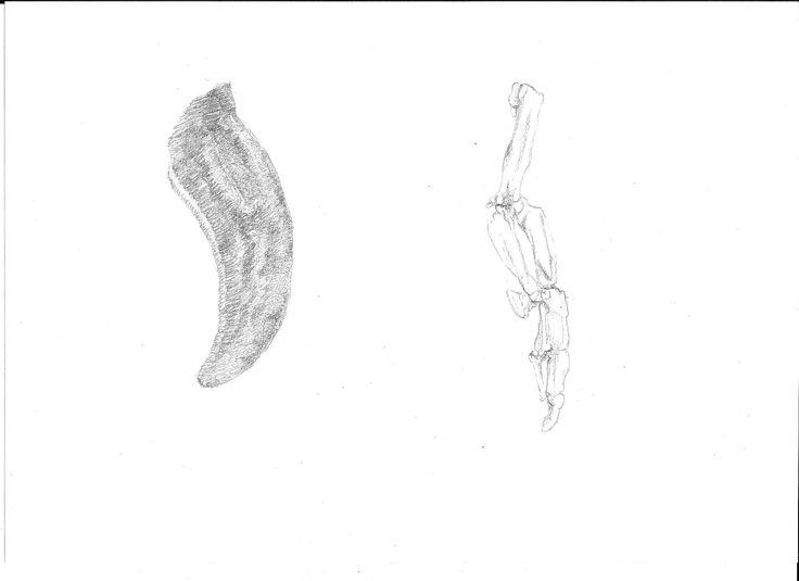 Little Blue Penguin wing comparison, Eudyptula minor