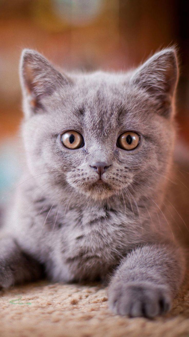 106 best Russian Blue Cat s images on Pinterest