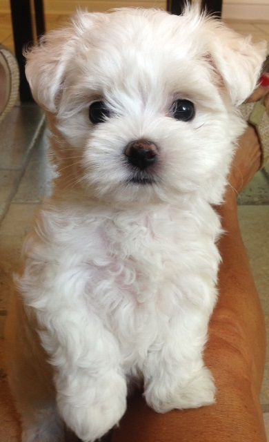 Bichon Frise ~ (french, meaning curly lap dog) Perky, bouncy and playful, friendly towards strangers.