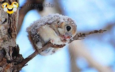 this is a japanese dwarf flying squirrel. • It looks more like