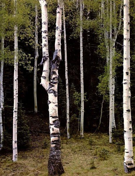 Осины. Национальный Парк Гранд Каньон. Аризона  1947 г.