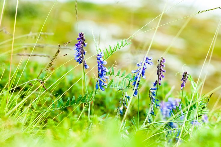 Blue arctic summer flowers - Blue flowers in a arctic landscape