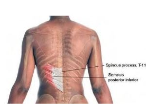 Basic Clinical Massage Therapy - Serratus Posterior Inferior by ana