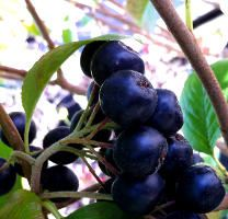 Benefits of Wild Maqui Berries