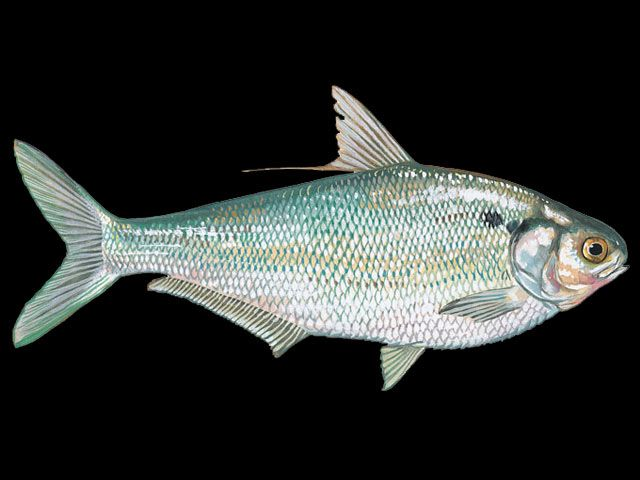 64 best fish lover images on pinterest fish list for Freshwater fish list